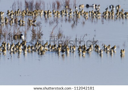 Golden Plover resting on a lake in winter