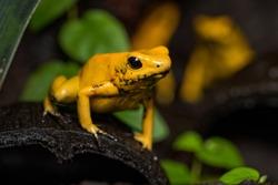 Golden poison frog on a fallen log