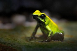 Golden Poison Frog, Phyllobates terribilis, yellow poison frog in tropical nature. Small Amazon frog in nature habitat. Wildlife scene from Colombia.