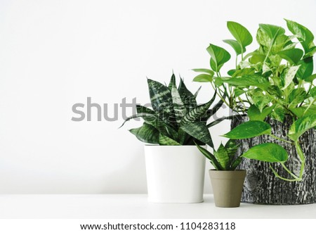 Golden pothos and snake plant on the white wooden table with copy space home and garden concept #1104283118