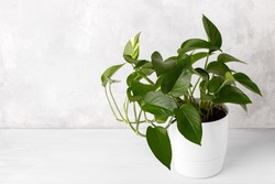 Golden pothos or devil's ivy in white modern flowerpot copy space