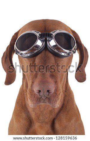 golden pure breed dog wearing vintage motorbike glasses on white background - stock photo