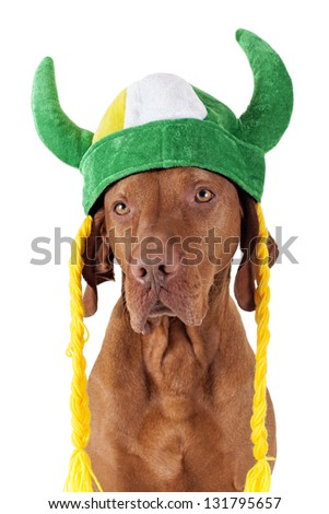 golden pure breed  hunting dog wearing a tricolor viking hat