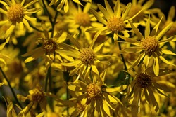 Golden Ragwort in bloom. Its stout, thick, basal offshoots creep horizontally and send up erect flowering stems 1-3 ft. in height. Flowers are deep golden-yellow, daisy-like and showy.