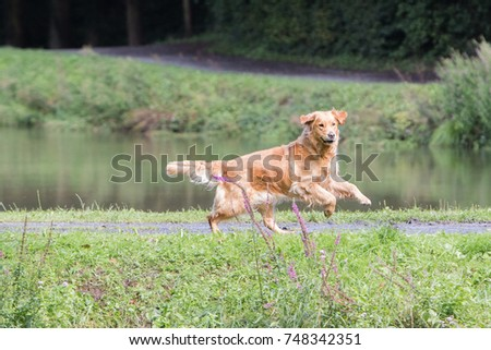 golden retriever  #748342351