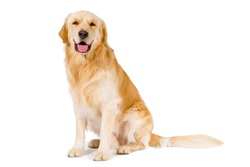 Golden Retriever adult siting smiling at camera isolated on white background