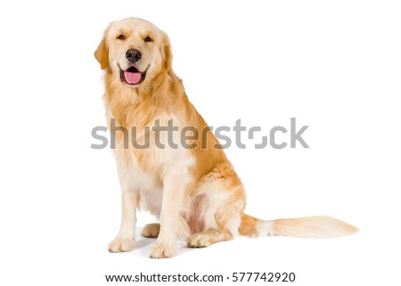 Golden Retriever adult siting smiling at camera isolated on white background #577742920