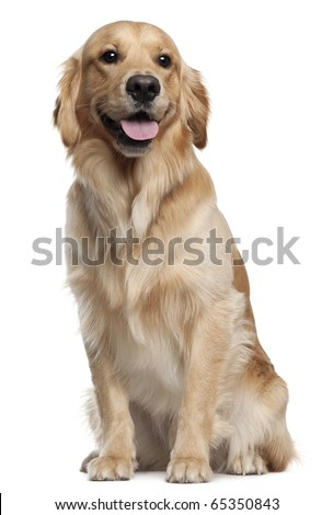Golden Retriever, 1 and a half years old, sitting in front of white background