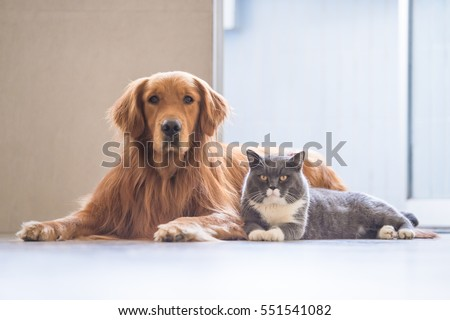 Golden Retriever and British Shorthair - Shutterstock ID 551541082