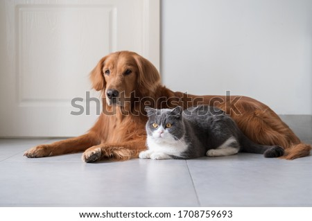 Golden Retriever and British Shorthair get along