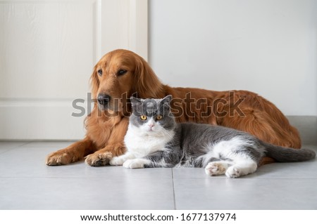 Golden Retriever and British Shorthair lying on the floor
