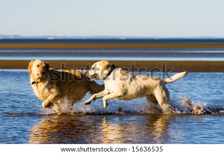 Golden retriever and labrador running on the beach