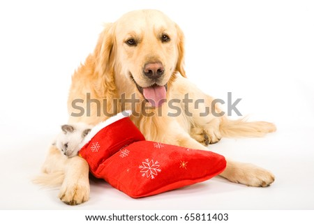 Golden Retriever and Ragdoll kitten in Santa stocking
