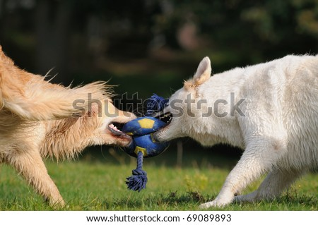 Golden Retriever and White Shepherd  tug with the ball