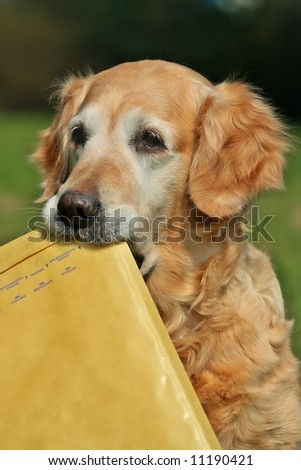 Golden retriever -  assistant of mailman