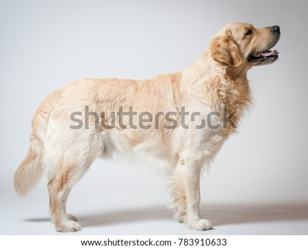 Golden retriever book #783910633