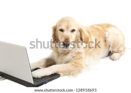 Golden retriever bored using a laptop