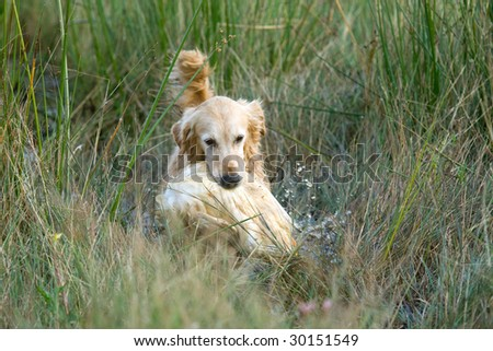 Golden Retriever competing in field trial competition
