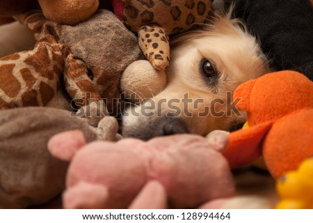 Golden retriever completely covered by pet toys