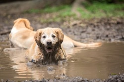 Golden retriever couple cooling off in a mud puddle after playing fetch the ball on summer day.