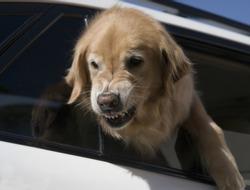 golden retriever defending car