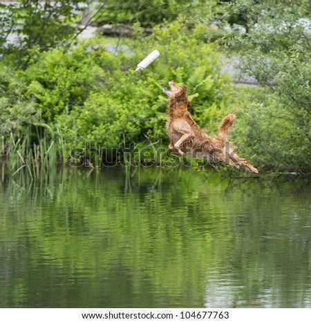 Golden Retriever diving into a stream - stock photo