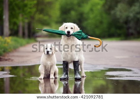 golden retriever dog and puppy in a puddle with umbrella #421092781