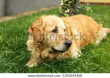 golden retriever dog backyard portrait #1203644368