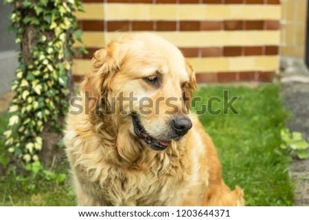golden retriever dog backyard portrait #1203644371