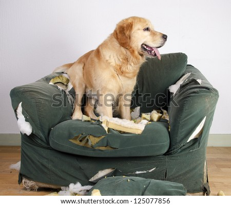 Golden retriever dog demolishes chair