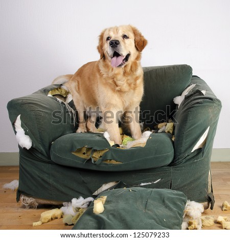 Golden retriever dog demolishes chair - stock photo