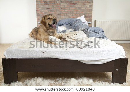 Golden retriever dog demolishes pillow on a bed in the bedroom.