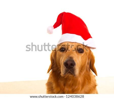 Golden retriever dog dressed with christmas santa red hat portrait