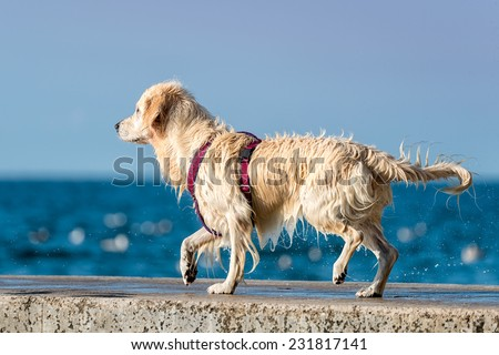 Golden Retriever dog enjoying summer