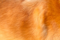 Golden retriever dog hair