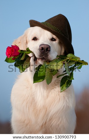 golden retriever dog in a hat holding a rose in his mouth