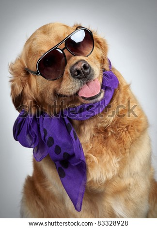 Golden Retriever dog in a scarf and dark sunglasses. Funny portrait on grey background