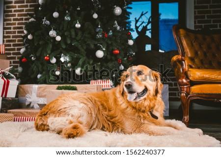 Golden Retriever dog in Christmas. Cute dog on Christmas tree background. Christmas Dog Retriever Lying Under New Year Tree, Beautiful Xmas Animal. heme Christmas and New Year and domestic pet.