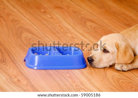 golden retriever dog in front of his bowl with pet food