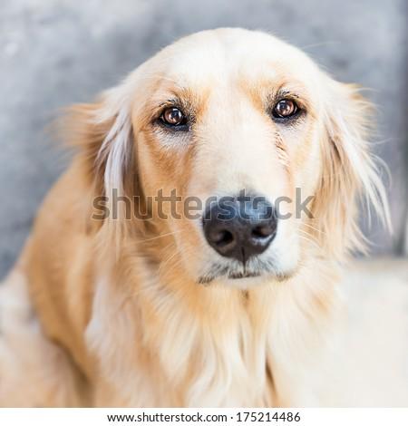 Golden retriever dog in sad face expression