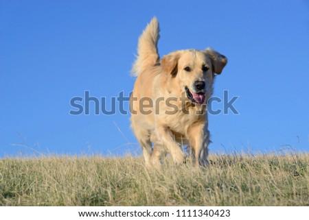Golden Retriever dog in the field. #1111340423