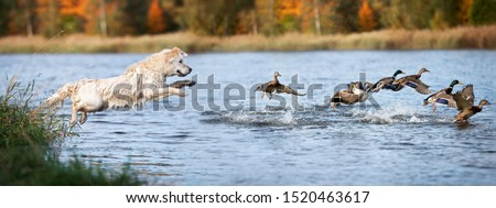 golden retriever dog jumping into water hunting ducks Сток-фото ©