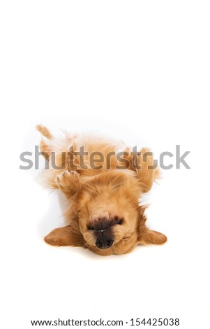 Golden Retriever dog laying down on his back