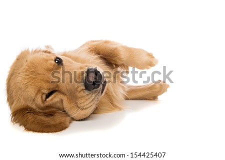 Golden Retriever dog laying down with a grumpy expression on his face.
