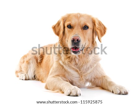 golden retriever dog laying over white background #115925875