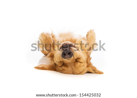 Golden Retriever dog laying upside down on his back
