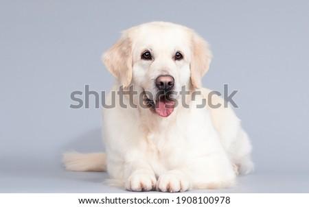 golden retriever dog lies on a gray background