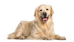 Golden Retriever dog lying  against white background