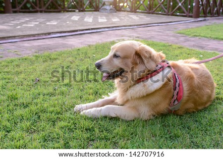 Golden Retriever dog lying down in a meadow on a sunny summer\'s day