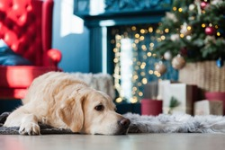 Golden retriever dog near Cristmas Tree, presents and lights in hotel or home living room with fireplace and classic chair. Interior with Pantone 2019 tends colours Valiant Poppy and Nebulas Blue.